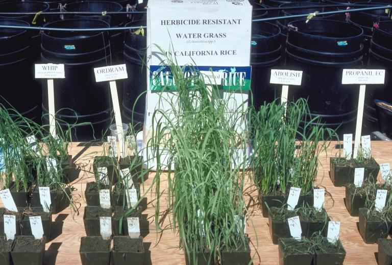 RiceWeedEvolution